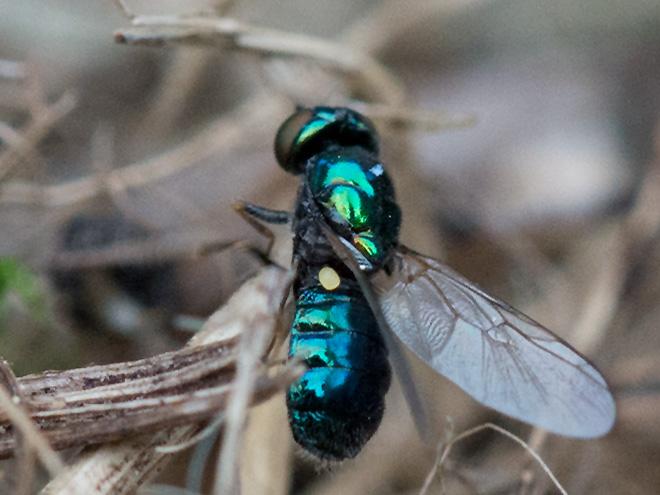 Kleine Weiafae Fliegen Im Garten