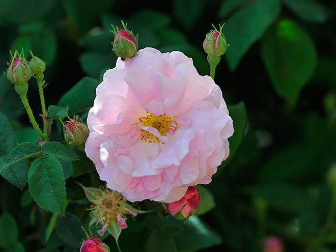 historische und alte rosen im naturgarten. Black Bedroom Furniture Sets. Home Design Ideas