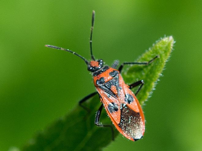 Rote wanzen im garten zuhause image idee - Ameisen garten loswerden ...