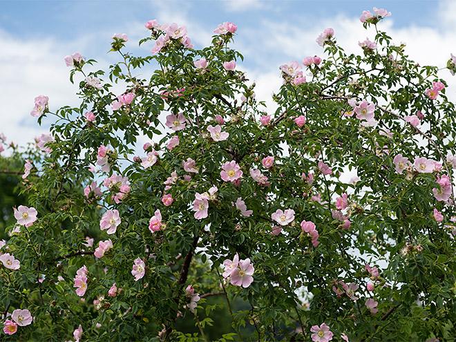 Wildrosen im Garten als Einzelstrauch oder Hecke