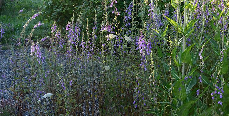 Blaue Blütenstände Der Glockenblumen