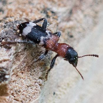 ganz kleine schwarze käfer